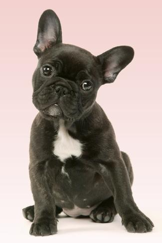 French Bulldog Puppy Fotoprint Bij Allpostersnl
