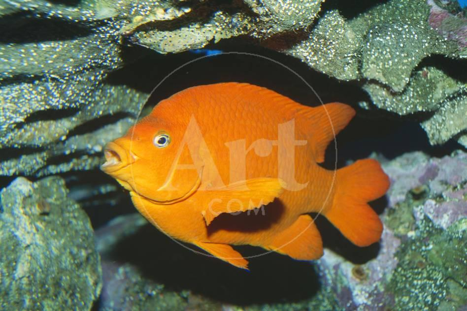 Garibaldi-Fisch Fotografie-Druck bei AllPosters.de