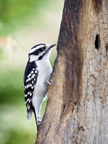 Downy Woodpecker Fotografie-Druck