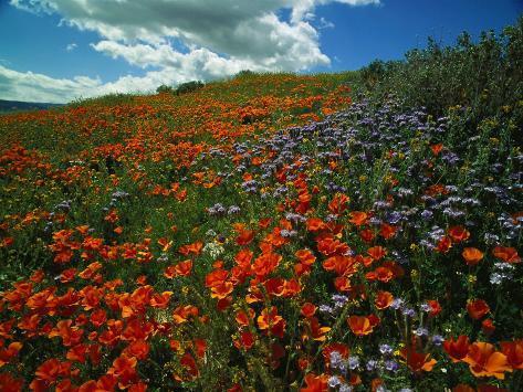 Colorful Field Of Flowers Fotoprint Van Gary Conner Bij Allpostersnl