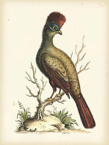 Regal Pheasants IV Kunstdruck