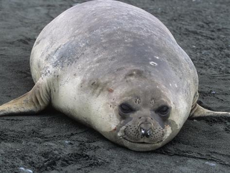 Southern Elephant Seal, Mirounga Leonina, South Georgia Islands, Antarctic Region Fotografie-Druck