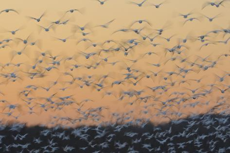 Greater Snow Geese (Chen Caerulescens) Taking Flight at Sunset During Migration Fotografie-Druck