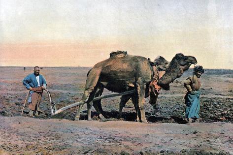 Farm Labourers Ploughing with a Camel, Caucasus, C1890 Giclée-Druck