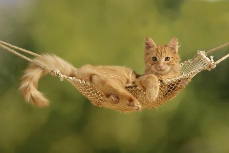 Ginger Kitten in Hammock Fotografie-Druck