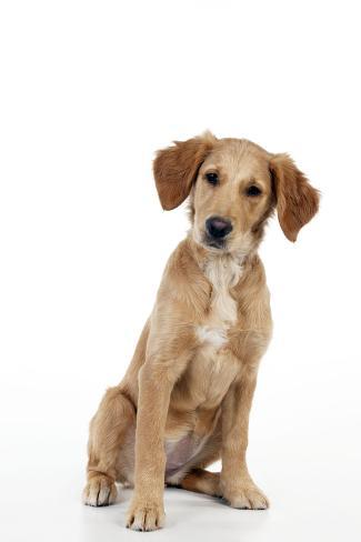 Golden Retriever Puppy (13 Weeks) Fotografie-Druck