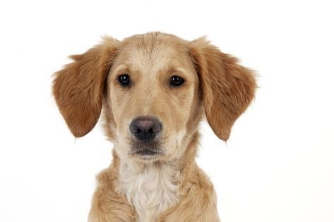 Golden Retriever Puppy (Head Shot) (13 Weeks) Fotografie-Druck