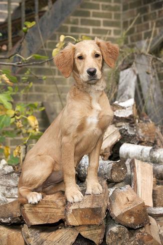 Golden Retriever Puppy Sitting on a Pile Fotografie-Druck