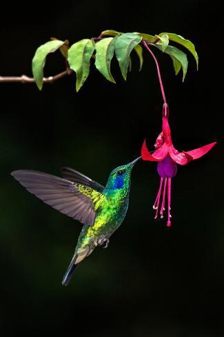 Green Violetear Colibri Thalassinus Feeding On A Flower Savegre