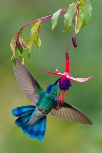 Green Violetear Colibri Thalassinus Feeding Savegre Costa Rica