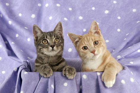 Grey and Ginger Tabby Cats Sitting Together Fotografie-Druck