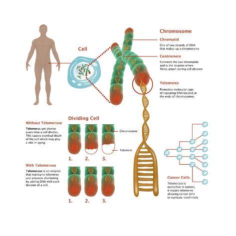 Chromosomes & Telomerase, Illustration Kunstdruck