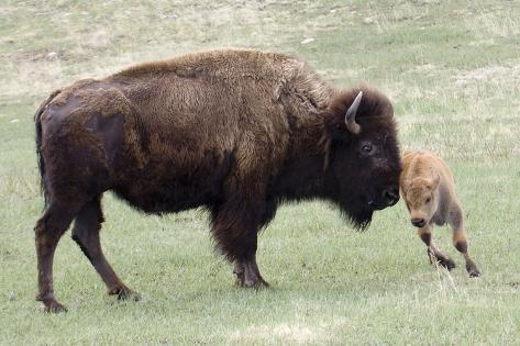 American Bison Cow with Calf Fotografie-Druck