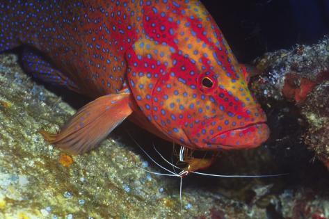 Cleaner Shrimp Cleans Coral Cod Fotografie-Druck