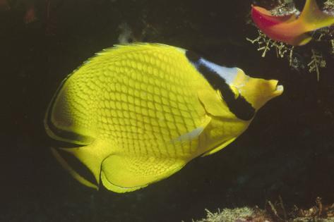 Latticed Butterflyfish Fotografie-Druck