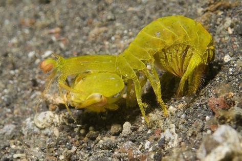 Smooth Mantis Shrimp Female Fotografie-Druck