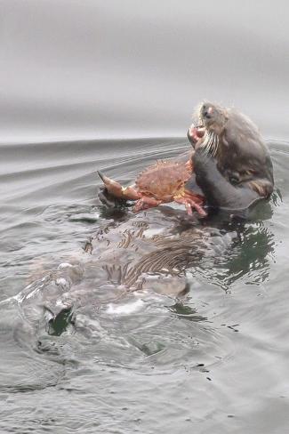 Southern Sea Otters Eats a Crab Fotografie-Druck