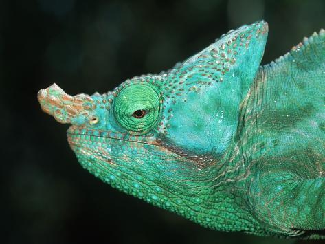 Head of a Parson's Chameleon Fotografie-Druck