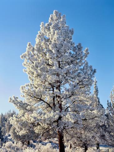 Hoar frost ponderos pine tree, Sundance Ranch, Bend, Deschutes County, Oregon, USA Fotografie-Druck