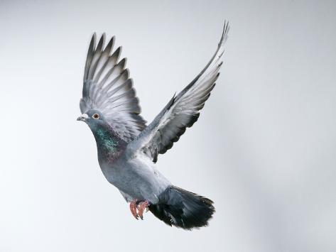Homing Pigeon in Flight Fotografie-Druck