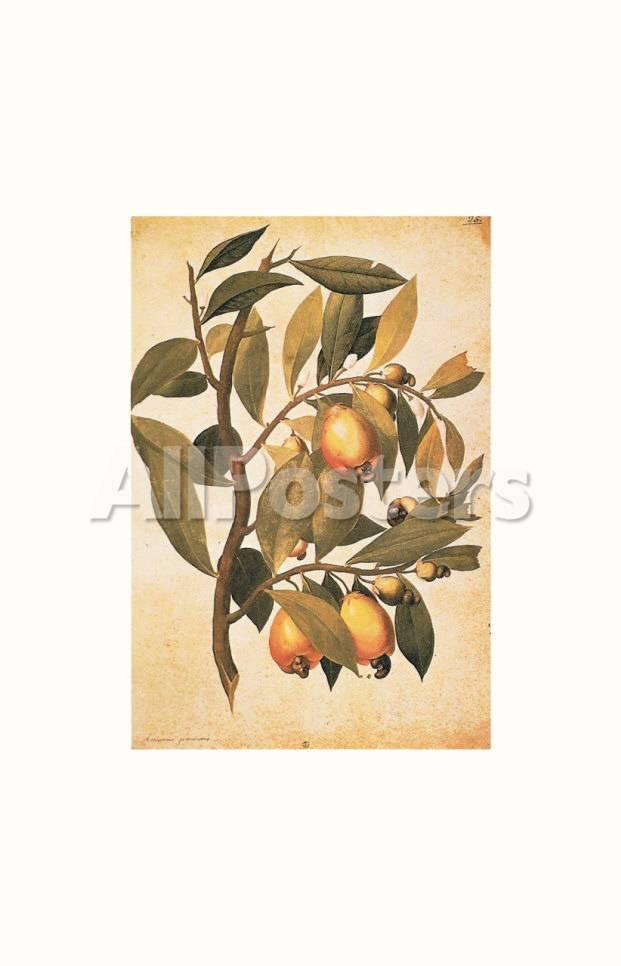 Avicennia Germinans (Schwarze Mangrove) Kunstdrucke von Jacopo ...