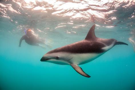 Snorkeler with a Dusky Dolphin Off of Kaikoura, New Zealand Fotografie-Druck