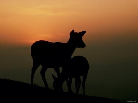 Japanese Deer Fotografie-Druck