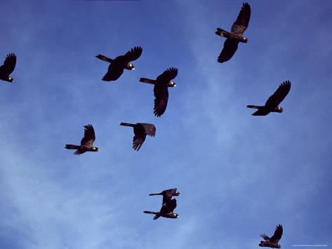 Yellow Tailed Black Cockatoo Flock in Flight against a Blue Sky, Australia Fotografie-Druck