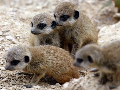 Jenny the Meerkat's Four New Babies Watch as She Stands at London Zoo Fotografie-Druck