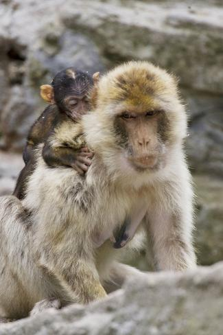 A Barbary Macaque Baby on the Back of the Mother Animal Fotografie-Druck