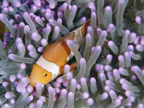 Clown Anemonefish in Sea Anemone, Sipadan Island, East Malaysia Fotografie-Druck