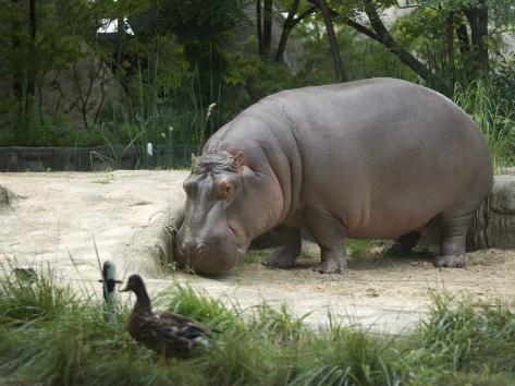 Hippo at the Toledo Zoo Fotografie-Druck
