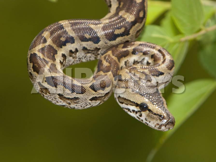 Africa Rock Python (Python Sebae), South Africa Fotografie-Druck von ...