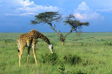 Masai Giraffe Grazing on the Serengeti with Acacia Tree and Clouds Fotografie-Druck