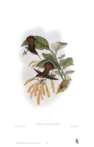 Glaucis Lanceolata, Hummingbirds Kunstdruck