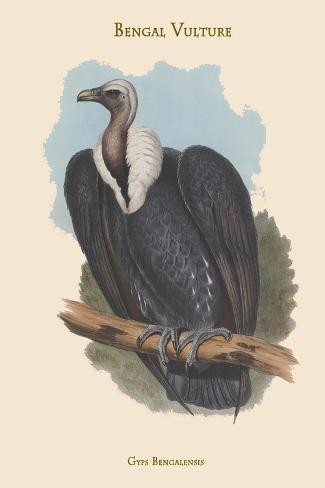 Gyps Bengalensis - Bengal Vulture Kunstdruck
