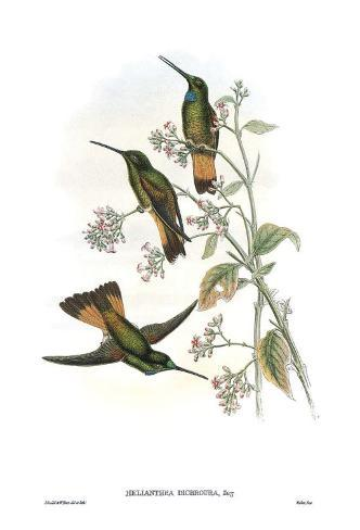 Helianthea Dichroura, Hummingbirds Kunstdruck