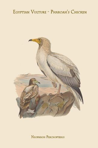 Neophron Percnopterus - Egyptian Vulture - Pharoah's Chicken Kunstdruck