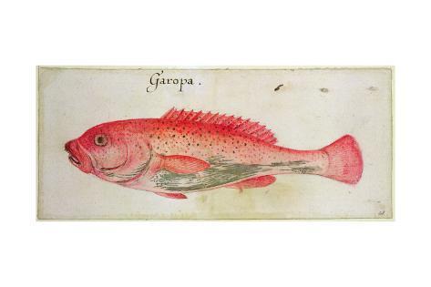 Garopa Giclée-Druck