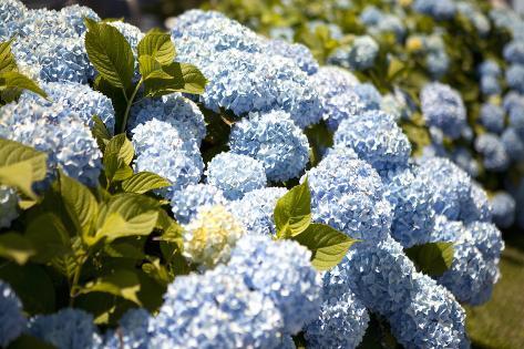 Blaue Hortensie Fotografie Druck Von Karyn Millet Bei Allposters De