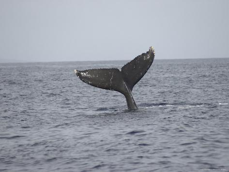 Whale's Tail- Maui, Hawaiian Islands Fotografie-Druck