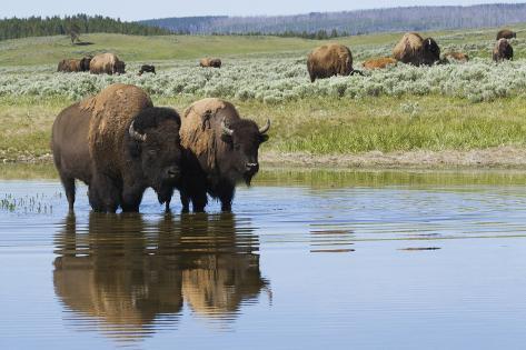 Bisonherde, Yellowstone-Nationalpark Fotografie-Druck