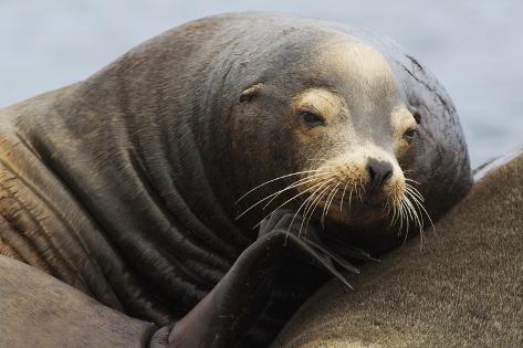 California Sea Lion Resting Fotografie-Druck