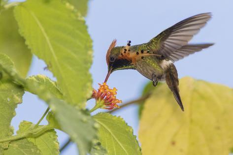 Tufted Crockette Hummingbird Fotografie-Druck