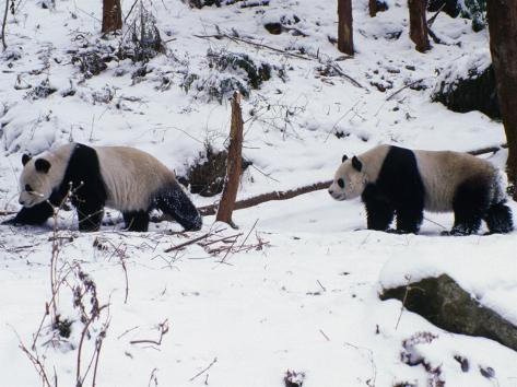 A Pair of Pandas(Ailuropoda Melanoleuca) in Snow, Wolong Ziran Baohuqu, Sichuan, China Fotografie-Druck