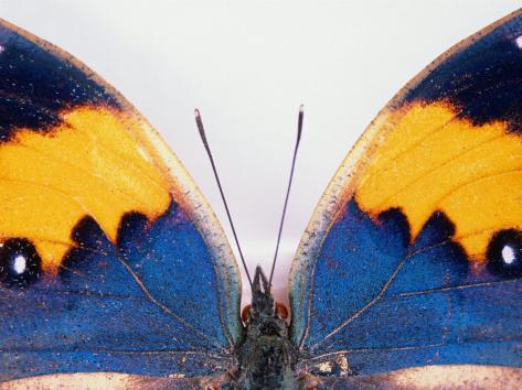 Detail of a Butterfly Body and Wings, Wolong Ziran Baohuqu, China Fotografie-Druck