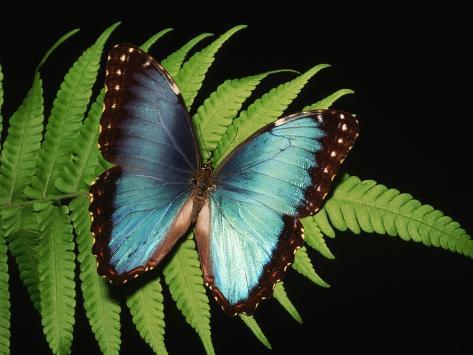 Blue Common Morpho Butterfly on Fern Frond Fotografie-Druck