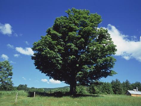 A Sugar Maple Tree In The Summer Vermont Fotoprint Van Kindra