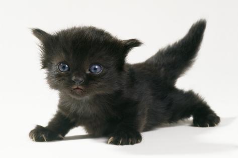 Kitten, 20 Days Old Fotografie-Druck