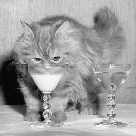Kitten Choosing Milk over Martini Fotografie-Druck